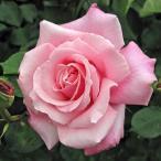 バラ苗 桃香(ももか) 国産大苗6号スリット鉢 ハイブリッドティー(HT) 四季咲き大輪 ピンク系
