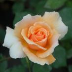 バラ苗 ジャストジョイ 国産大苗6号スリット鉢 四季咲き大輪 オレンジ系