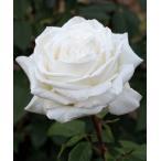 バラ苗 ビブラマリエ! 国産大苗6号スリット鉢 ハイブリッドティー (HT) 四季咲き大輪 白系