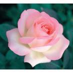 バラ苗 プリンセスドゥモナコ 国産新苗4号ポリ鉢ハイブリッドティー(HT) 四季咲き大輪 複色系