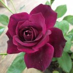 ショッピングバラ (アウトレット)苗B バラ苗 バーガンディアイスバーグ 6号スリット鉢 フロリバンダ(FL) 四季咲き中輪 紫系