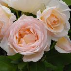 バラ苗 薫乃(かおるの) 国産新苗4号ポリ鉢 フロリバンダ(FL) 四季咲き中輪 ピンク系