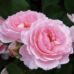 バラ苗 夢香(ゆめか) 国産大苗6号スリット鉢 フロリバンダ(FL) 四季咲き中輪 ピンク系