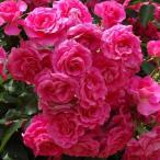 (アウトレット)苗B バラ苗 ローズうらら 国産大苗6号スリット鉢 フロリバンダ(FL) 四季咲き中輪 ピンク系
