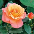 (アウトレット)苗B バラ苗 アンネのバラ(スブニールドアンネフランク) 国産大苗6号スリット鉢 フロリバンダ(FL) 四季咲き中輪 オレンジ系