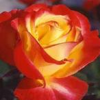 (アウトレット) 苗B バラ苗 チャールストン 大苗6号スリット鉢 フロリバンダ(FL) 四季咲き中輪 複色系