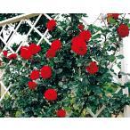 (アウトレット)苗B バラ苗 ウルメールムンスター 6号スリット鉢 つるバラ(CL) 四季咲き 赤系