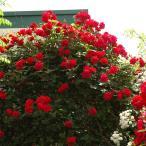 (アウトレット) 苗B バラ苗 アンクルウォルター 6号スリット鉢つるバラ(CL) 四季咲き 赤系