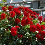 バラ苗 ウルメールムンスター 国産新苗4号ポリ鉢 つるバラ(CL) 四季咲き 赤系