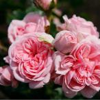 バラ苗 新苗 シンデレラ つるバラ ピンク系