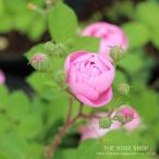 (アウトレット)苗B バラ苗 ローブリッター 6号スリット鉢 つるバラ(CL) 一季咲き ピンク系