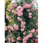 【訳あり】苗Bバラ苗 ドリームウィーバー 6号スリット鉢 つるバラ(CL) 四季咲き ピンク系