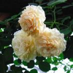 【訳あり】苗B バラ苗 バフビューティー 6号スリット鉢 つるバラ(CL) 返り咲き オレンジ系