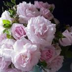バラ苗 ニュードーン 国産新苗植え替え6号スリット鉢 つるバラ(CL) 返り咲き  ピンク系