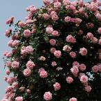 バラ苗 羽衣 国産新苗4号ポリ鉢 つるバラ(CL) 四季咲き ピンク系