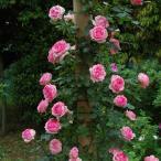 予約苗 バラ苗 つるヒストリー 国産大苗裸苗 つるバラ(CL) 四季咲き ピンク系 (12月上旬順次配送)