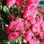 バラ苗 つるアンジェラ 国産新苗植え替え6号スリット鉢 つるバラ(CL) 四季咲き小輪 ピンク系