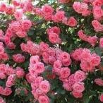 (アウトレット)苗B バラ苗 ラビィーニア 大苗6号スリット鉢 つるバラ(CL) 四季咲き ピンク系
