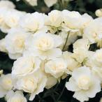 バラ苗 つるアイスバーグ 国産大苗6号スリット鉢 つるバラ(CL) 返り咲き中輪 白系