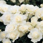 バラ苗 新苗 つるアイスバーグ つるバラ 白系