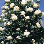 【訳あり】苗B バラ苗 フラウカールドルシュキ 6号スリット鉢 つるバラ(CL) 四季咲き 白系