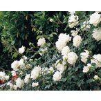 【訳あり】苗B バラ苗 新雪 6号スリット鉢 つるバラ(CL) 四季咲き中輪 白系