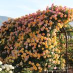 バラ苗 サハラ'98 国産大苗6号スリット鉢 つるバラ(CL) 四季咲き 黄色系