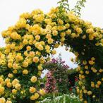 バラ苗 つるゴールドバニー 国産新苗4号ポリ鉢 つるバラ(CL) 返り咲き 黄色系