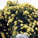 (アウトレット)苗B バラ苗 つるゴールドバニー 6号スリット鉢 つるバラ(CL) 返り咲き 黄色系