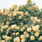 バラ苗 新苗 バタースコッチ つるバラ オレンジ系
