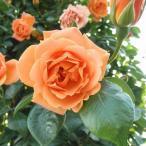 バラ苗 ロイヤルサンセット 国産新苗4号ポリ鉢 つるバラ(CL) 四季咲き オレンジ系
