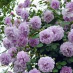 バラ苗 レイニーブルー 国産新苗4号ポリ鉢つるバラ(CL) 四季咲き 紫系