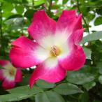 バラ苗 カクテル 国産新苗植え替え6号スリット鉢 つるバラ(CL)  四季咲き中輪 複色系/殿堂入りのバラ
