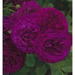バラ苗 トワイライトゾーン 輸入大苗7号スリット鉢 四季咲き大輪 紫色系 ウィークスローズ