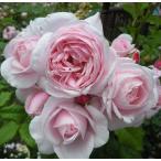 バラ苗 新苗 デルバール ナエマ  ピンク系 つるバラ