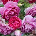 バラ苗 シェエラザード 国産大苗ロサオリジナル角鉢6号 四季咲き大輪 ピンク系 ロサ オリエンティス