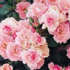 バラ苗 ボニカ'82 国産大苗6号スリット鉢 修景用 四季咲き中輪 ピンク系