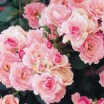 ショッピングバラ (アウトレット)苗B バラ苗 ボニカ'82 6号スリット鉢 修景用 四季咲き中輪 ピンク系