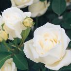 ショッピングバラ バラ苗 ホワイトクリスマス 国産新苗植え替え6号スリット鉢 ハイブリッドティー(HT) 四季咲き大輪 白系