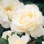 バラ苗 正雪(まさゆき) 国産新苗植え替え6号スリット鉢 ハイブリッドティー(HT) 四季咲き大輪 白系