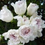 バラ苗 ガブリエル 国産新苗4号鉢 (ヘブンシリーズ) 四季咲き 白系 河本バラ園