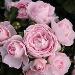 バラ苗 ハンスゲーネバイン 国産大苗6号スリット鉢 フロリバンダ(FL) 四季咲き中輪 ピンク系