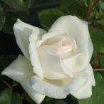 バラ苗 ホワイトクリスマス 国産大苗6号スリット鉢 ハイブリッドティー(HT) 四季咲き大輪 白系