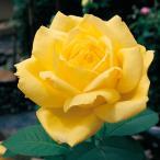 バラ苗 ローズヨコハマ 国産新苗4号ポリ鉢ハイブリッドティー(HT) 四季咲き大輪 黄色系