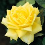 バラ苗 月光(げっこう) 国産大苗6号スリット鉢 ハイブリッドティー(HT) 四季咲き大輪 黄色系