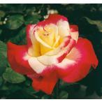 ショッピングバラ バラ苗 ダブルディライト 新苗植え替え6号スリット鉢 ハイブリッドティー(HT) 四季咲き大輪 複色系