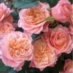 バラ苗 せん 国産大苗6号スリット鉢 ハイブリッドティー(HT) 四季咲き大輪 ピンク系(F&Gローズ)