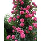 (アウトレット) 苗B バラ苗 レオナルドダビンチ 6号スリット鉢 つるバラ(CL) 返り咲き ピンク系