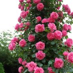 バラ苗 レオナルドダビンチ 国産新苗4号ポリ鉢 つるバラ(CL) 返り咲き ピンク系