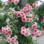 (アウトレット) 苗B バラ苗 つるミミエデン 6号スリット鉢 つるバラ(CL) 返り咲き アンティークタイプ 複色系